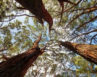 Three trees - Deep Creek, South Australia - Download