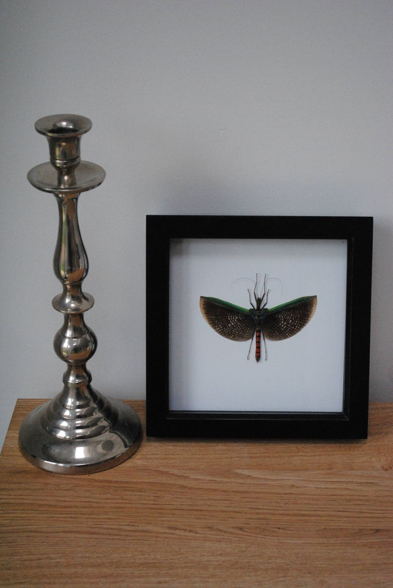 Calvisia virbius stick insect mounted in a black wood frame