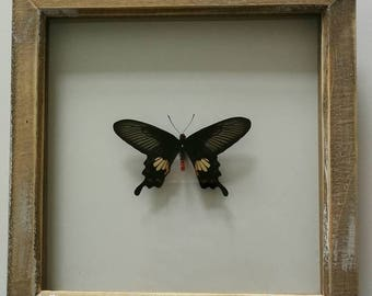 Pachliopta aristolochiae mounted in a limed wood frame