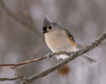 Tufted Titmouse in Winter Fine Art Photo Print - Wildlife Photography - Bird Photo - Nature Photography - Gifts for Nature Lovers -Songbirds