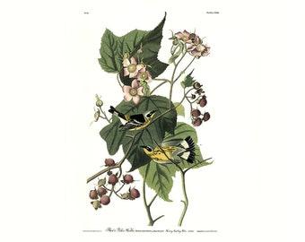 Audubon print, Black & Yellow Warbler