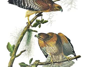 Audubon print, Red-shouldered Hawk