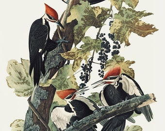 Pileated Woodpecker, Audubon print