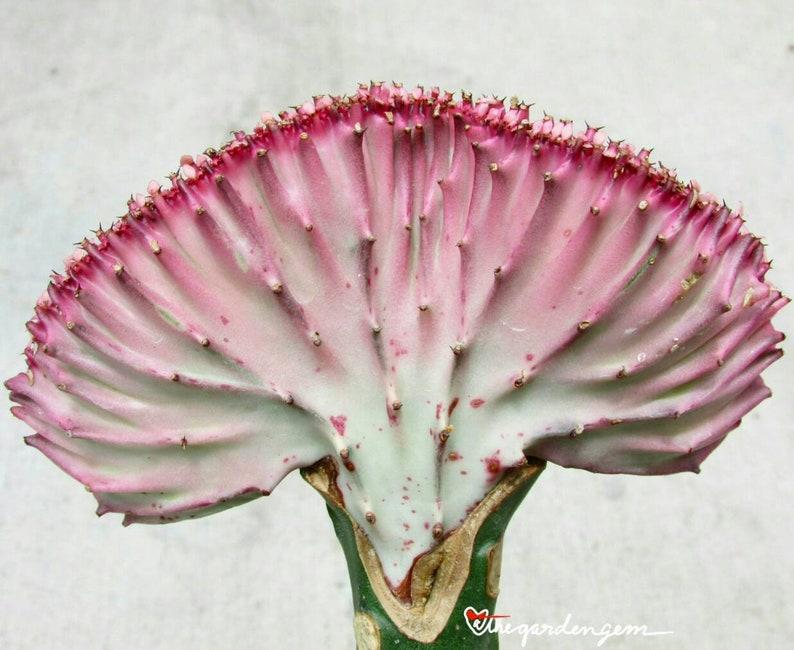 ombre Euphorbia lactea /'Cristata/' Coral Cactus pink and green live plant