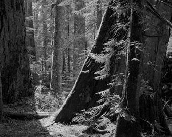Woods Aglow / landscape black and white photograph, fine art, wall art print, landscape photo, b&w photography, nature wall decor