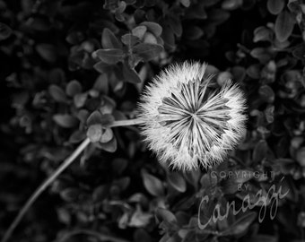Dandelion / black and white photograph, fine art, wall art print, b&w photography, wall decor, natural world, flower photograph