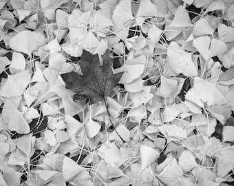 Lone Maple / black and white photograph, fine art, wall art print, b&w photography, wall decor, natural world, leaf photograph