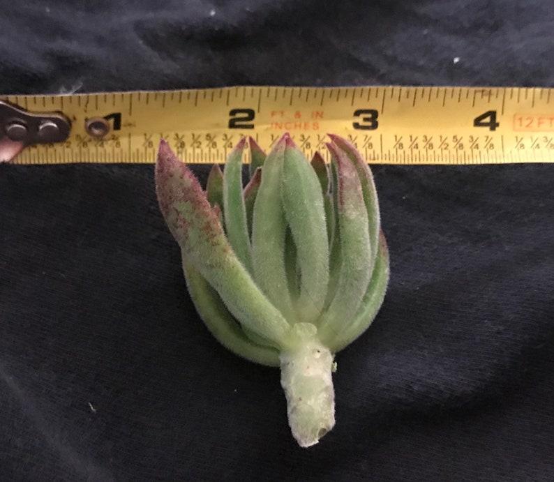 Fuzzy Echeveria Succulent Cutting