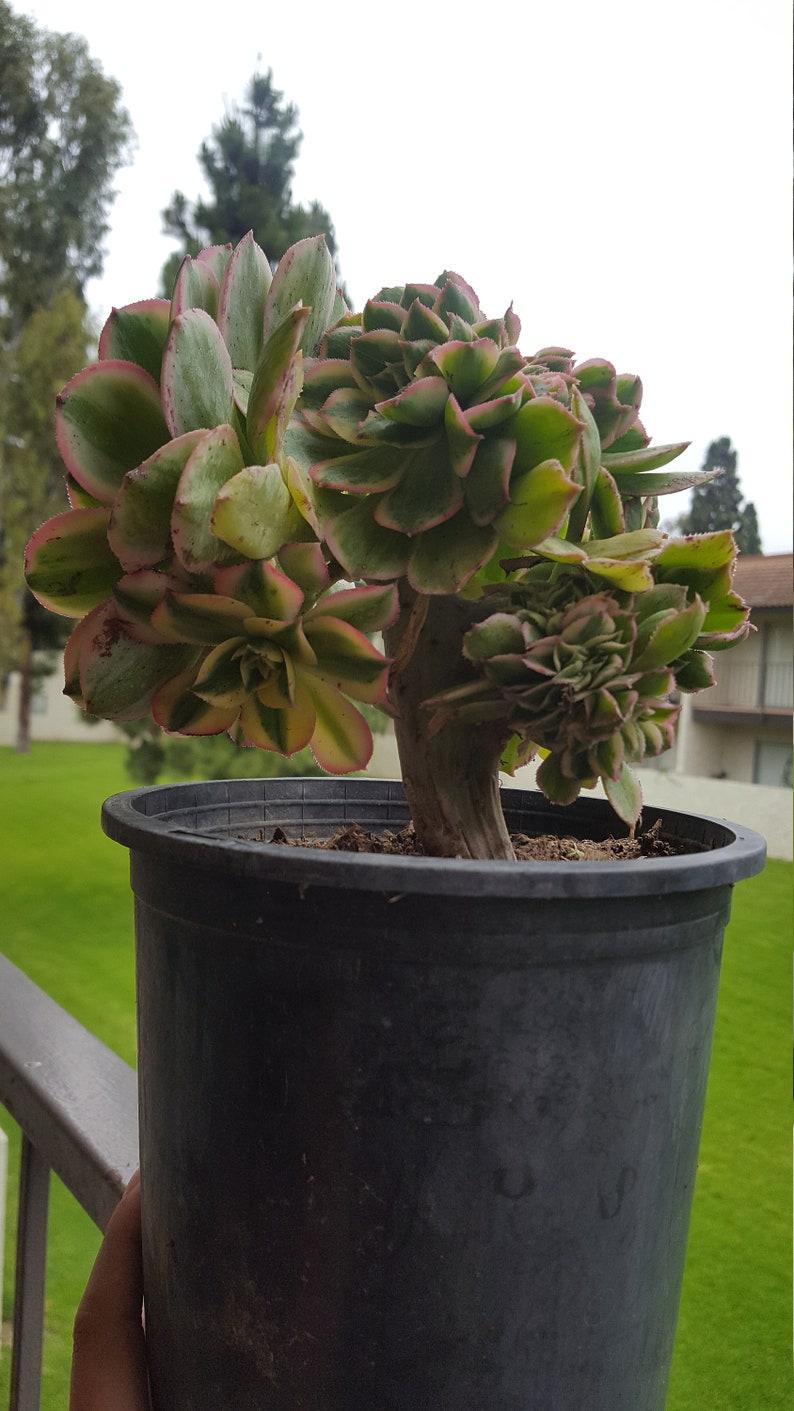 Crested Aeonium Sunburst forma Cristata