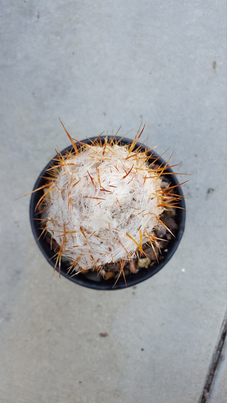 Old Man of the Andes Cactus Well Rooted