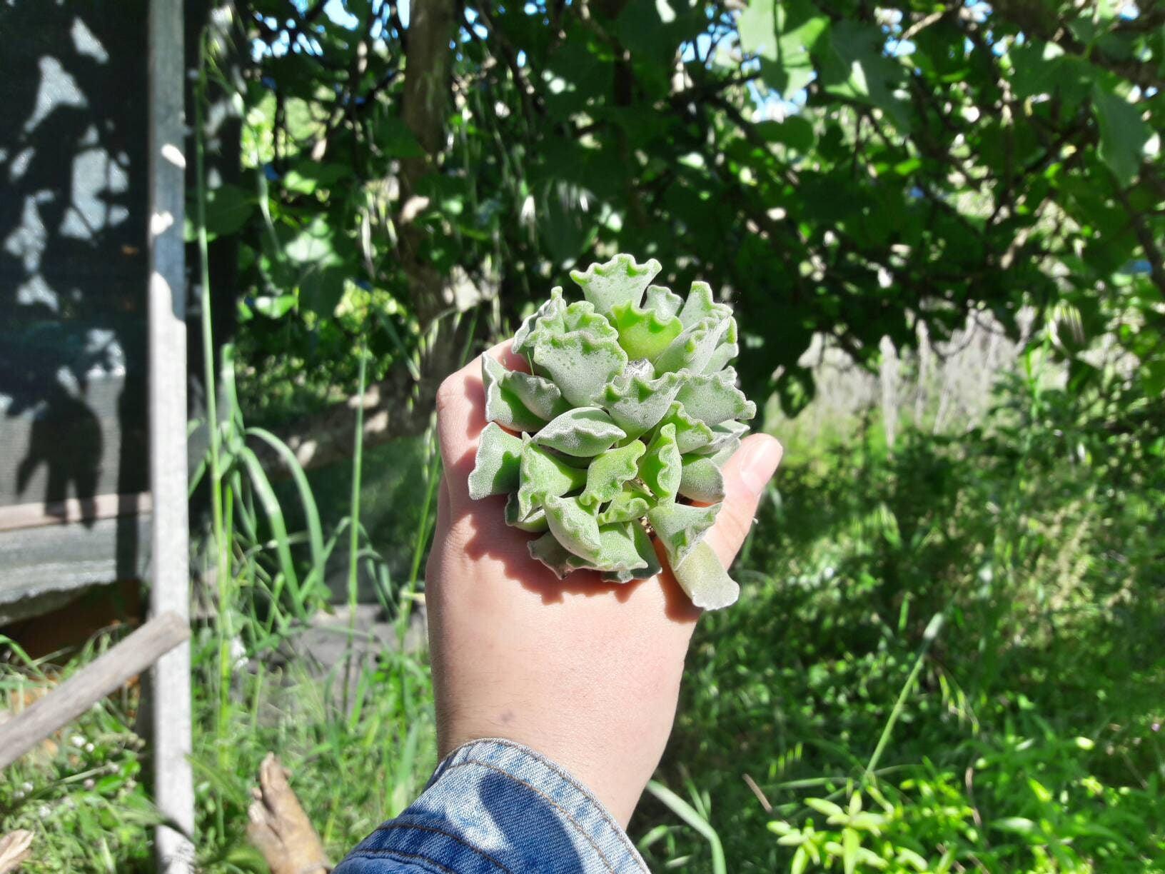 Succulent Adromischus Cristatus, Cotyledon Cristata, Crinkle Leaf Plant, Adromischus Poellnitzianus,