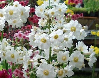 DEER /& RABBIT RESISTANT 25+ FILIPENDULA // DROPWART FLOWER SEEDS SHADE EASY