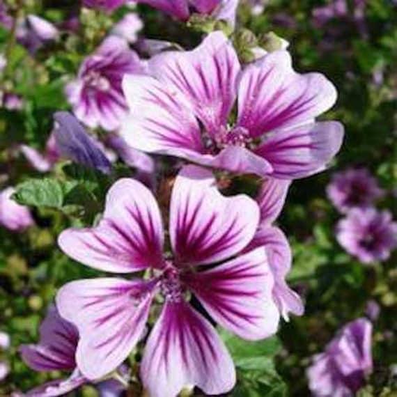 30 Malva White Appleblossom   Perennial Flower Seeds