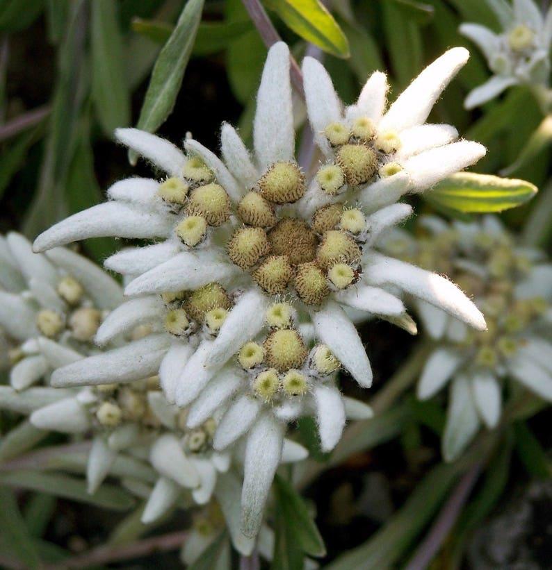 ERINUS ALPINUS aka ALPINE BALSAM PERENNIAL PINK COOL WEATHER FLOWER SEEDS 25