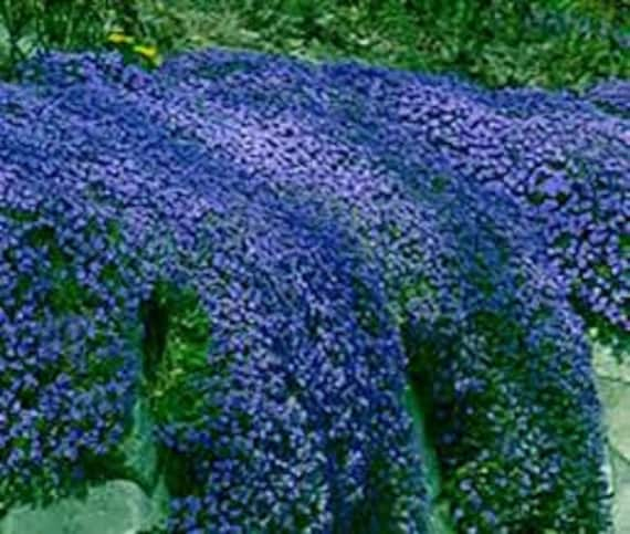 50 aubrieta royal blue rock cress perennial fragrant etsy image 0 mightylinksfo