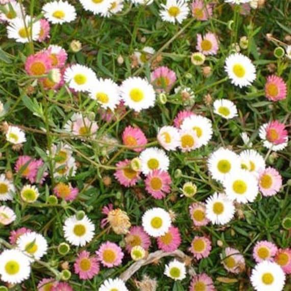 75 Mexican Fleabane /'Profusion/' hardy perennial seeds Erigeron karvinskianus