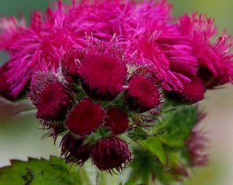 50+ AGERATUM HEIRLOOM Red Flint / Deer & Rabbit Resistant Annual-Perennial  Flower Seeds