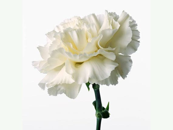 Perennial Flower Seeds White Grenadin Carnation Dianthus 30