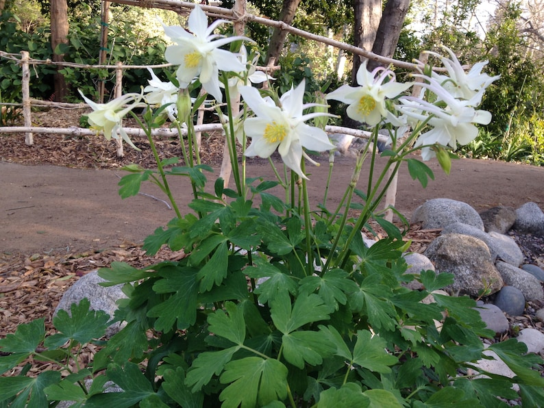 "DEER /& RABBIT RESISTANT AQUILEGIA COLUMBINE /""STAR BLUE/"" FLOWER SEEDS 30"