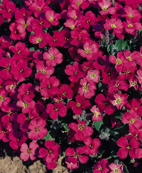 50 aubrieta royal red rock cress perennial fragrant etsy image 0 mightylinksfo