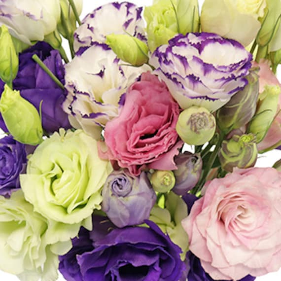 ROSE PURPLE FLOWER SEEDS MIX // LASTING ANNUAL 20+ LISIANTHUS PINK WHITE