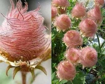 10+  Geum PRAIRIE SMOKE, CHERRY Drop Native Perennial Deer Resistant Flower Seeds