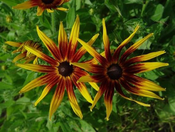 30 rudbeckia hirta sputnik flower seeds bushy perennial etsy image 0 mightylinksfo