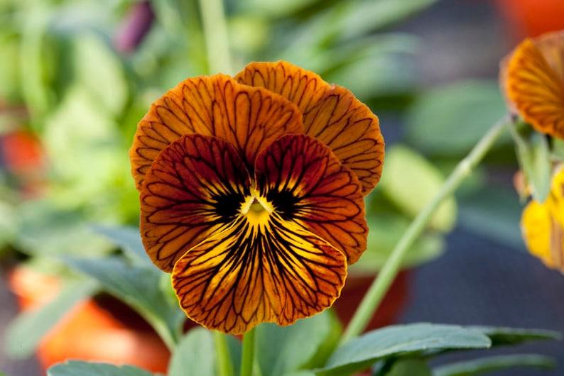 Pansy Joker Poker Face x 25 seeds Bedding Plant Fairy Flower Seeds