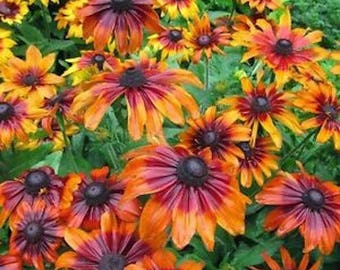 30+ RUDBECKIA AUTUMN FOREST / Deer Resistant Perennial Easy Fast Growing Flower Seeds