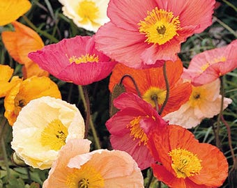 25+  POPPY ICELAND Champagne Bubbles Mix,  Deer Resistant   Perennial  PRIMED Flower Seeds