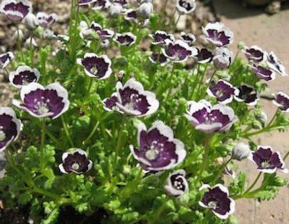 Nemophila Pennie Black Fresh 35 Seeds Truly Amazing