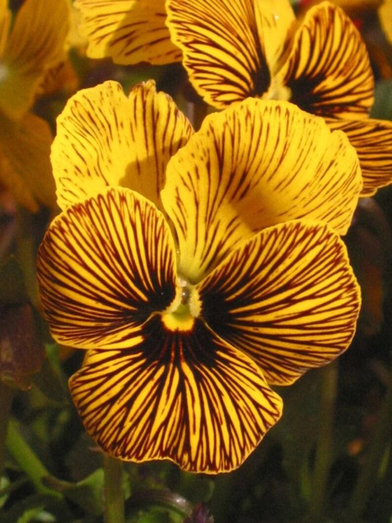 20   VIOLA TIGER EYE Yellow /  Edible Violet Pansy image 0