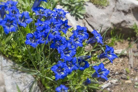 EASY //PERENNIAL HARDY LONG LIVED GENTIANA DAHURICA NIKITA FLOWER SEEDS 30