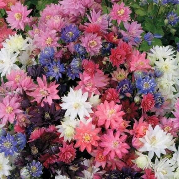 de Colombine haut ou cerfgraines soleil 30aquilegia vivaces ombre résistant mélange lapin fleurs facile au w0mNn8