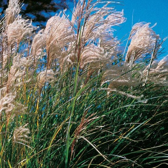 25 Miscanthus Sinensis Fountain Grass Perennial New Etsy