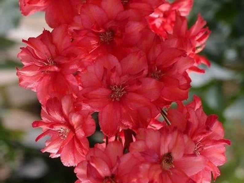 25 Ocean Mix Delphinium Flower Seeds Perennial