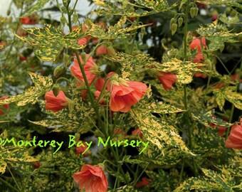 Flowering Maple Etsy