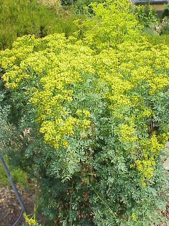 Ruta Chalepensis Fringed Rue 1 Plant 1 Feet Tall Ship Etsy