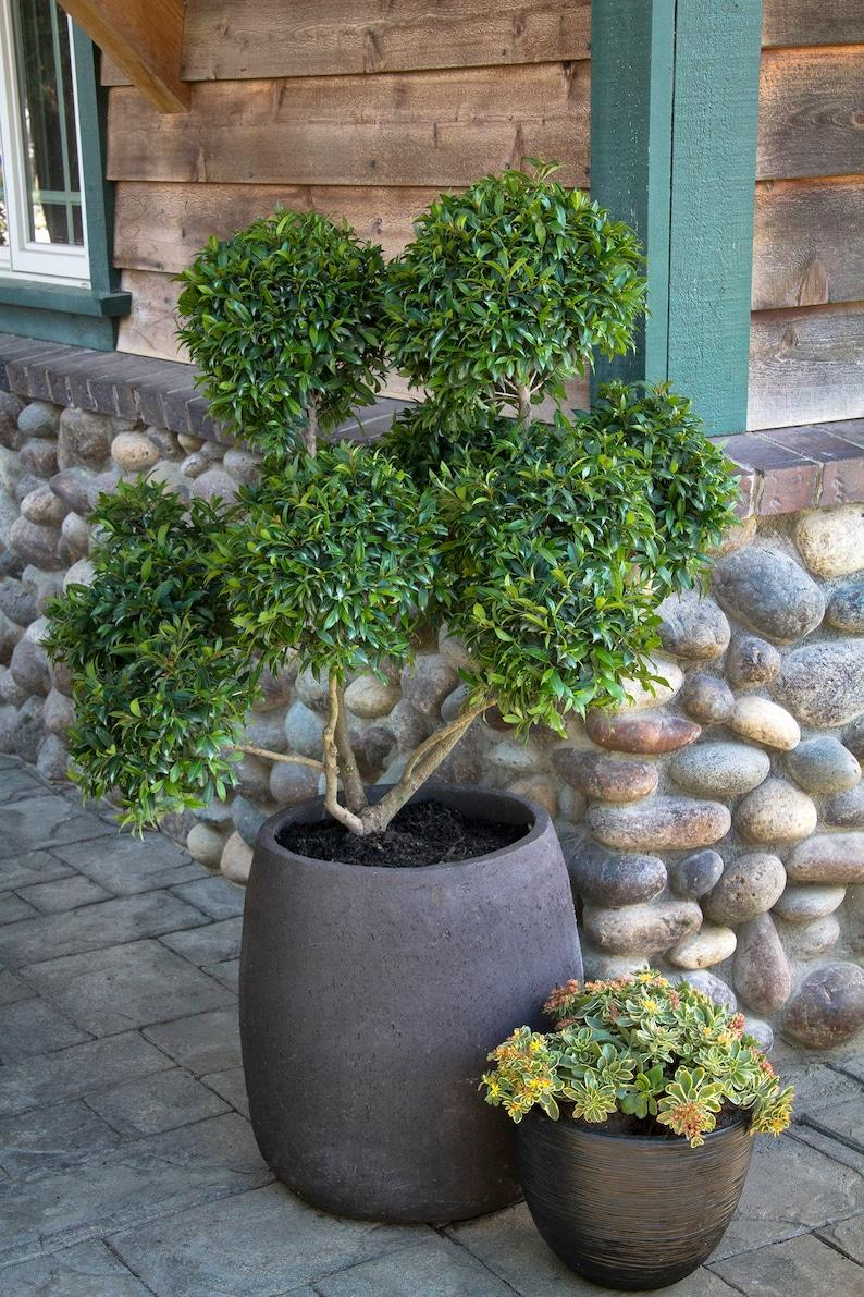 Ship in 1 Gal  Pot Great For Bonsai 2 Feet  Tall Dwarf Brush Cherry-  Eugenia myrtifolia Compacta