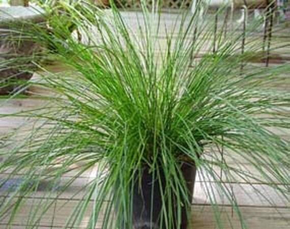 lomandra longifolia breeze 1 feet tall ship in 1 gal pot
