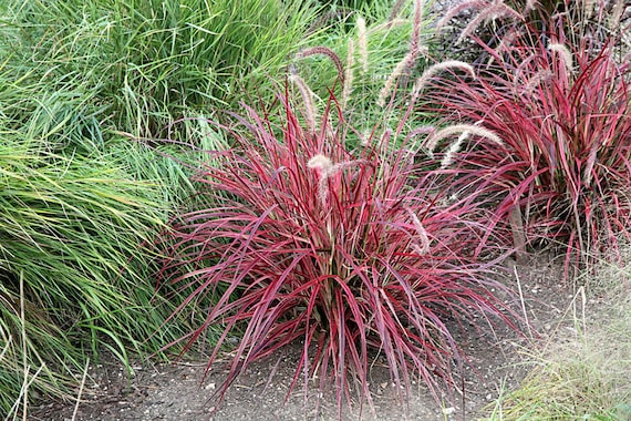 Fireworks Fountain Grass 1 Starter Plants 4 Tall Etsy