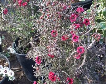 "Leptospermum scoparium - Ruby Glow - 8"" Tall"