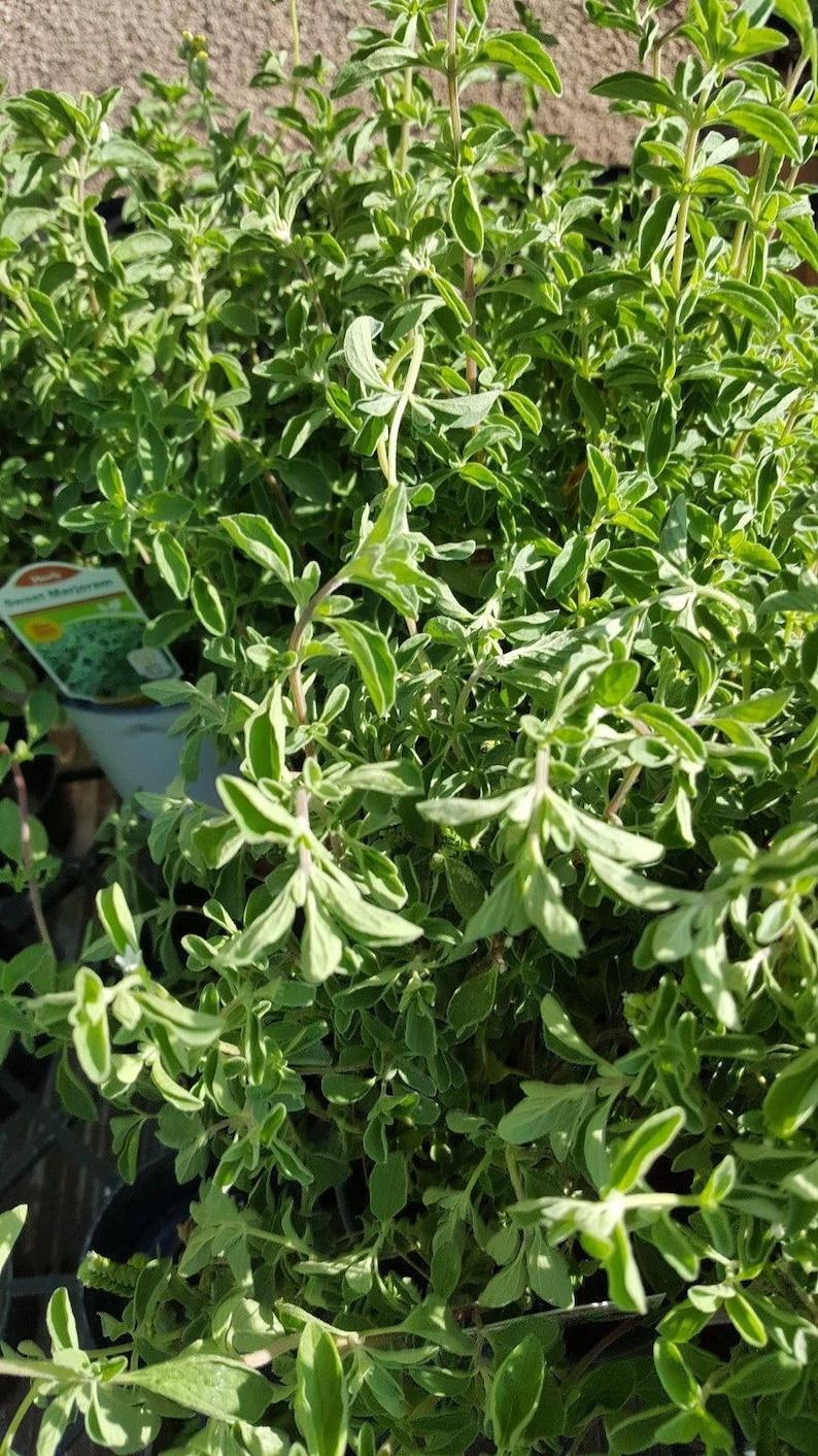 "Origanum majorana Sweet marjoram 1 Plants Ship in 3/"" Pot"