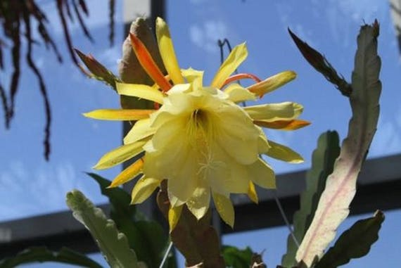 Epiphyllum Oxypetalum Queen Of The Night Yellow Flower 1 Etsy