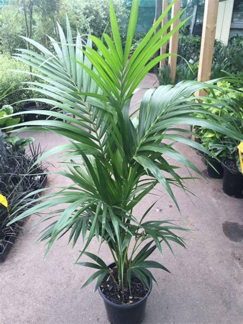 11aca67416f Kentia Palm 1 Plant 3 Feet Tall Ship in 3 Gal Pot