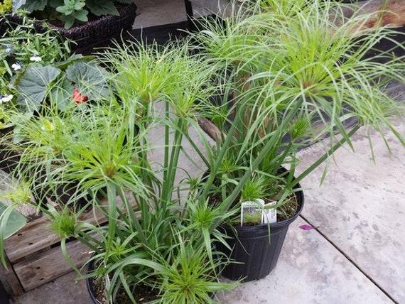 Cyperus Papyrus Petit Tut 1 Plantes 1 Pieds De Long Expédier En Pot De 1 Gal