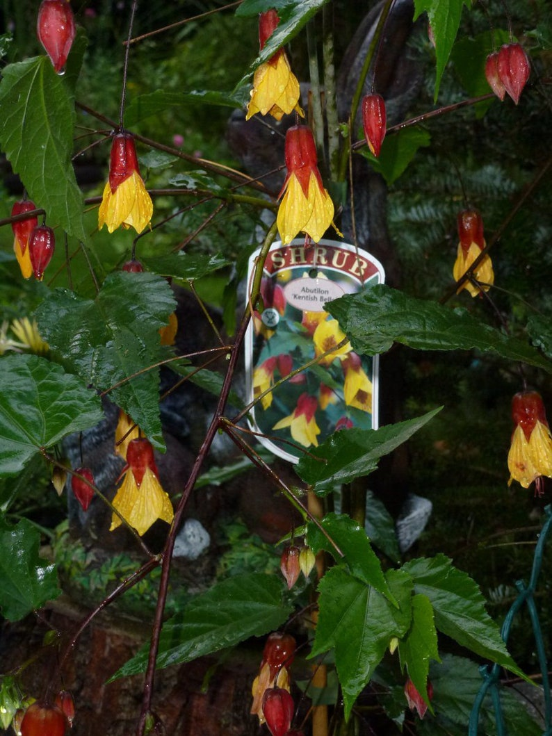 Abutilon Sunset Flowering Maple 1 Plants 1 Etsy
