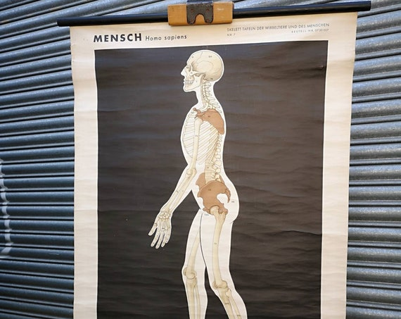 1960's East German Chart Depicting The Skeleton Of Man By Volk Und Wissen, Berlin