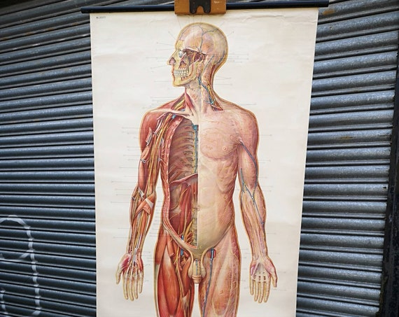 1950s Anatomical Wall Chart Of The Nervous System By The German Hygiene Museum Dresden