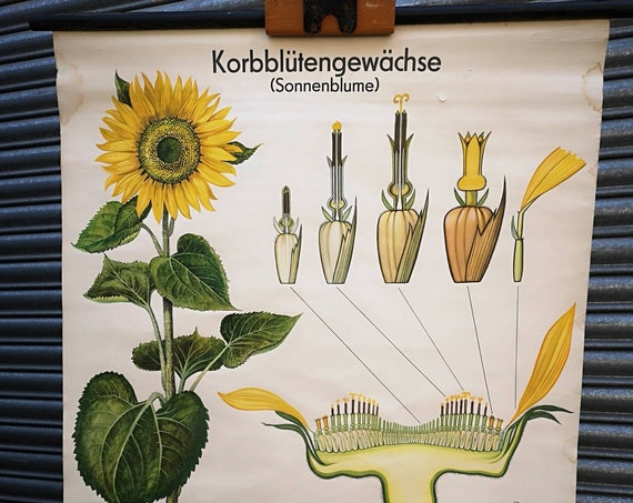 1960s East German Chart Depicting The Sunflower By Volk Und Wissen, Berlin